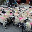 A flock of sheep being driven along the mountainous Nepalese village. — Stock Photo #16259729