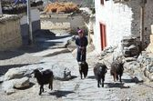 Nepal, Jomsom, asses with load go down the street — Stock Photo