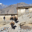 Stock Photo: Nepal, Jomsom, asses with load go down street