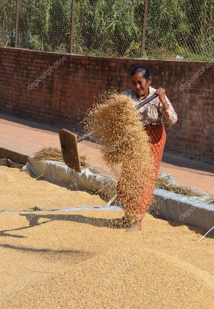 Nepalese woman shakes up the grain to dry on one of the squares Bhaktapur.   Stock Photo #17345553