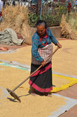 Nepal. An elderly woman shakes up grain in the square in Bhaktapur to dry. — Stock Photo