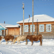 Bashkortostan, the village of Kaga, cows on the street in the winter on a clear day — Stock Photo
