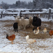 Sheep and chickens in the barnyard in winter — Stock Photo