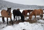 Hästar på gården i tråkig vintermorgon. — Stockfoto