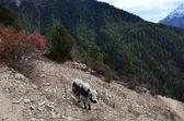 Nepal, vandring runt anapurna, yak skrubbsår i bergen — Stockfoto