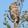 Stock Photo: Owl on a tree branch.