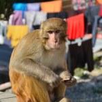 Monkey on the street of Kathmandu in Nepal — Stock Photo #33249575
