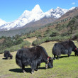 Nepal, Himalayas, yaks graze on the mountains: Everest, Lhotse and Amadablan — Stock Photo