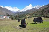 Nepal, Himalayas, yaks graze on the mountains: Everest, Lhotse and Amadablan — Stock Photo