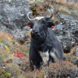 Nepal, the blaсk yak grazes in the Himalayas. — Stock Photo