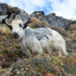 Nepal, the white yak grazes in the Himalayas. — Stock Photo