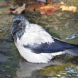 Stock Photo: Crow is bathing in pool in autumn Park