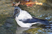 Crow is bathing in a pool in autumn Park — Stock Photo