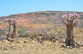 Bottle tree  (desert rose - adenium obesum) on the plateau Mumi, Yemen, Socotra — Stock Photo