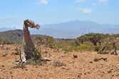 Yemen, Socotra, bottle tree (desert rose - adenium obesum) and ladan trees on the plateau Homhil — Stock Photo