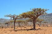 Yemen, Socotra, ladan trees on the plateau Homhil — Stock Photo