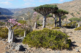 Yemen, Socotra Island, Dragon and Bottle(desert rose - adenium obesum)trees on the plateau of Diksam — Stock Photo