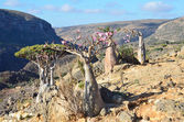 Yemen, Socotra Island, Dragon and Bottle(desert rose - adenium obesum)trees on the plateau of Diksam — Stock Photo