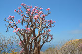 Branches of a blossoming of bottle ( adenium) tree against the blue sky, Yemen, Socotra — Stock Photo