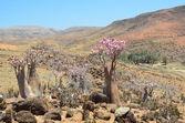 Bottle tree  (desert rose - adenium obesum) on the plateau Mumi, Yemen, Socotra — Stock Photo