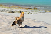 Egyptian vulture (Neophron Percnopterus) sits on the sand on the island of Socotra in the wild — Stock Photo