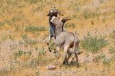 Två åsnor i naturen på ön socotra i jemen — Stockfoto
