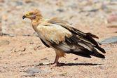 Egyptian vulture (Neophron Percnopterus) on the beach of Arabian sea, Socotra, Yemen — Fotografia Stock