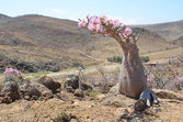 Yemen, Socotra, bottle trees (desert rose - adenium obesum) on Mumi plateau — Stockfoto