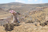 Yemen, Socotra, bottle trees (desert rose - adenium obesum) on Mumi plateau — Stock fotografie