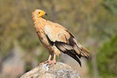 The vulture (Neophron Percnopterus) sits on the rock — Stock Photo