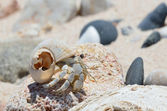 Hermit crab on wet sand on the bank of the Arabian Sea — Foto Stock