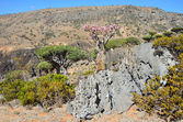 Yemen, Socotra, dragon and bottle trees on Diksam plateau — Stock Photo