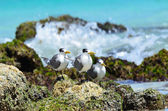 Great Crested Terns sit on the rock in Arabian sea — Stock Photo