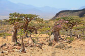 Yemen, Socotra,  plateau Homhil — Photo