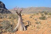 Yemen, Socotra, bottle trees (desert rose - adenium obesum) on Plateau above the Gorge Kalesan — Stock Photo