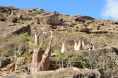 Yemen, Socotra, bottle trees (desert rose - adenium obesum) in the Gorge of Kalesan — Stock Photo