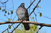 Wild Dove sitting on a  branch — Stock Photo