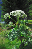 Giant Hogweed (Heracleum sphondylium) — Stock Photo