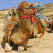 Camel tour — Stock Photo