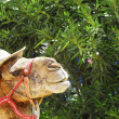 Camel Portrait — Stock Photo #12565624