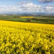 Field of yellow rapeseed - Foto de Stock  