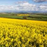 Field of yellow rapeseed — Stock Photo