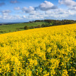 Field of yellow rapeseed on a hill - Foto Stock