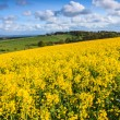 Field of yellow rapeseed on a hill - 