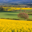 Landscape with tree in a field of rapeseed - Foto Stock