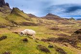 Schapen grazen in de hooglanden — Stockfoto