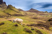 Sheep grazing in the highlands — Stockfoto