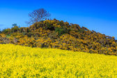 Hill with flowers in a rapeseed field — Stock Photo