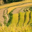 Terraces of rice — Stock Photo