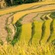 Terraces of rice — Stock Photo #15490489